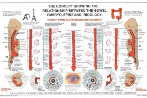 Bowel, Embryo, Spine and Iridology
